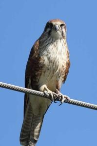 falconeria a Gradara